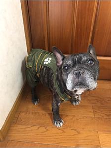 Kiyosu_cleaning_french_bulldog